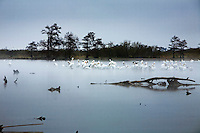 White pelicans congregate on lake in Venice, LA.  Copyright 2011 Reid McNally