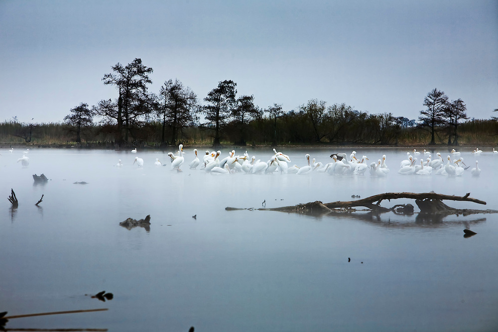 White pelicans congregate on lake in Venice, LA.  Copyright 2011 Reid McNally