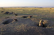Spotted Hyena<br /> Communal Den at Sunrise<br /> Masai Mara, Kenya