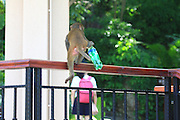 SANYA, CHINA - AUGUST 11: (CHINA OUT) <br /> <br /> Mass Propagation Of Wild Monkeys Brings More Animal Attacks <br /> <br /> A monkey holds a bottle of Sprite at Luhuitou Park on August 11, 2014 in Sanya, Hainan province of China. Dozens of wild monkeys multiplied to over 700 at Luhuitou Park and attacked tourists especially those who carried food once in a while.<br /> ©Exclusivepix