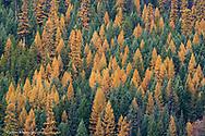 Larch aka tamarack trees turn golden in autumn in Glacier National Park in Montana
