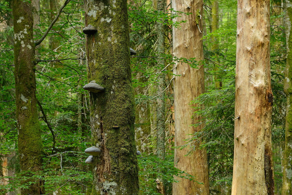 Fir, Abies, Beech, Fagus Silvatica and Spruce, Picea abies, Old-growth virgin forest in Special Forest Reserve,  Velebit Nature Park, Rewilding Europe rewilding area, Velebit  mountains, Croatia