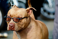 Pit Bull Terrier with sun glasses