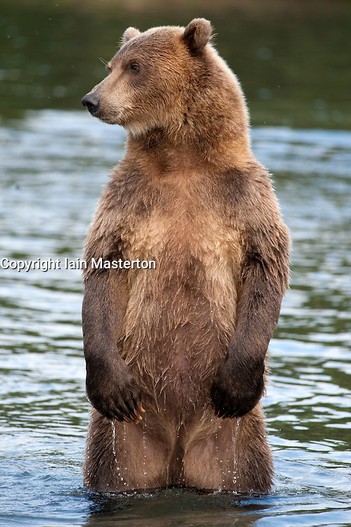 Brown bear in Yuzhno Kamchatsky national nature reserve in Kamchatka in Russian Far East 2008