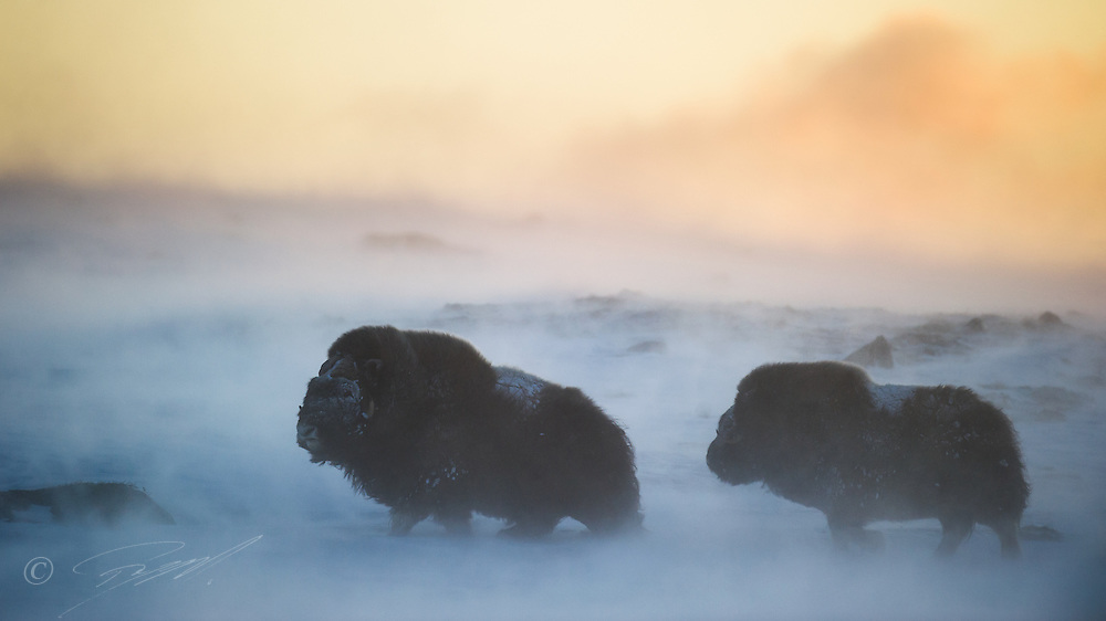 Moskus i Dovrefjell - Sunndalsfjella nasjonalpark om vinteren.
