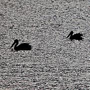 White Pelican Silhouettes. Bear Lake Utah Idaho