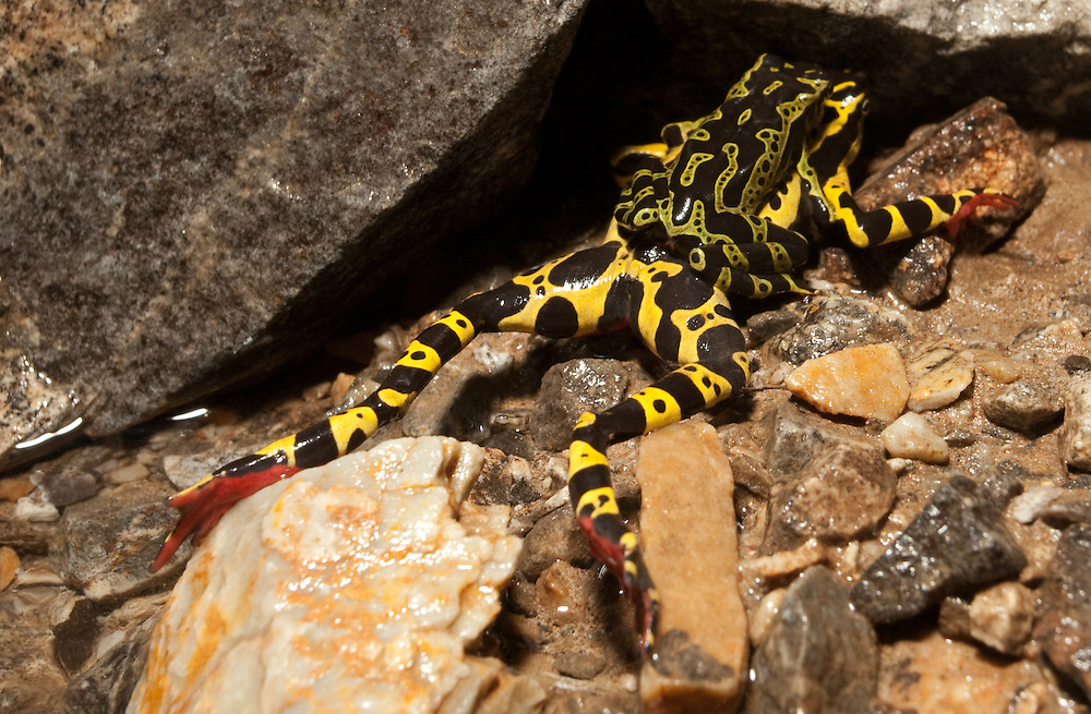 Male harlequin frog, Atelopus sp. (undescribed) mating with dead female