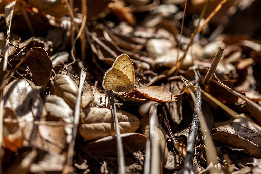 Coenonympha tullia california (Common Ringlet) at Solstice Canyon, Los Angeles Co, CA, USA, on 26-Jun-16