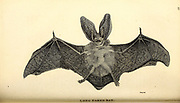 Long Eared Bat from General zoology, or, Systematic natural history Part I, by Shaw, George, 1751-1813; Stephens, James Francis, 1792-1853; Heath, Charles, 1785-1848, engraver; Griffith, Mrs., engraver; Chappelow. Copperplate Printed in London in 1800. Probably the artists never saw a live specimen