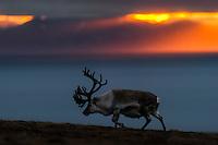 Svalbard reindeer (Rangifer tarandus platyrhynchus) bull at sunset. On Spitsbergen, Svalbard.