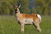 A pronghorn posing along Antelope Flats, Grand Teton National Park