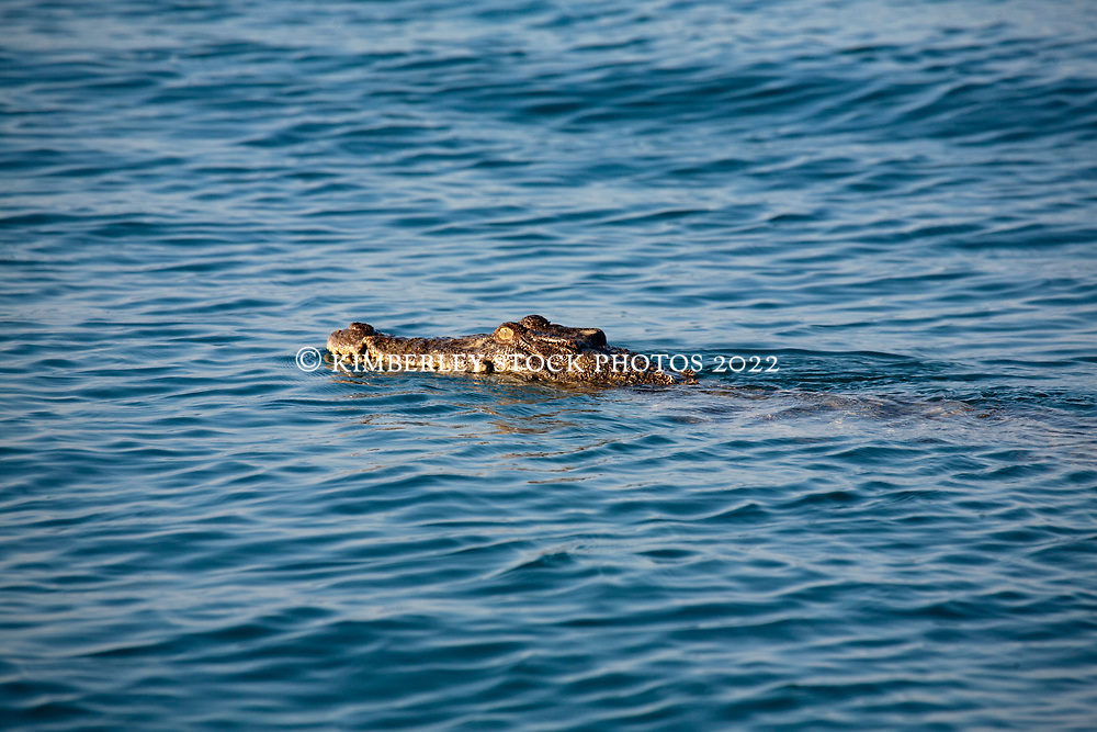 A crocodile swims toward a Humpback whale carcass at Hall Point in Camden Sound on the Kimberley coast.