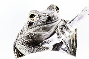 Close up of a Georgia Tree Frog, inverted, color manipulated and enhanced.
