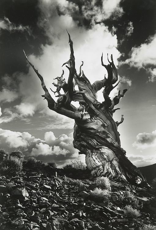 Bristlecone Pine  No. 2