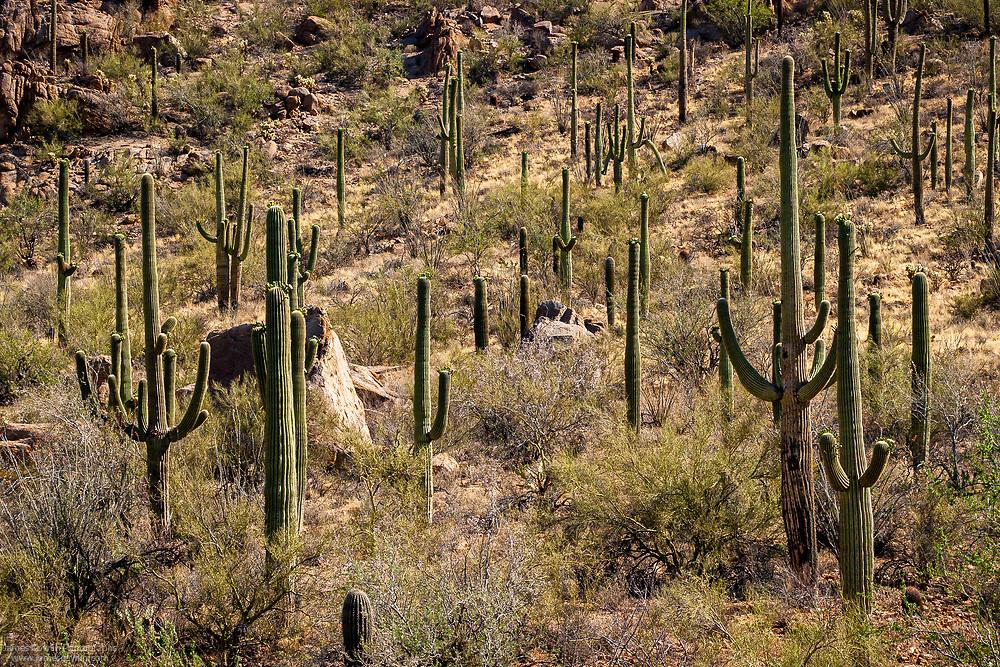 Saguaro cactus forest in Saguaro National Park, Arizona