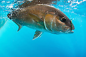 Amberjack Stock Photos