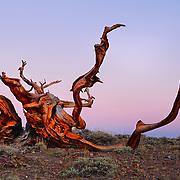 Ancient Bristlecone Pine, White Mountains, California