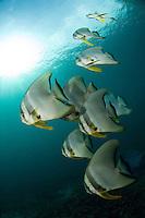 Batfishes and Sunburst