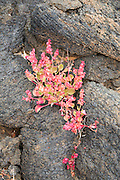 Rumex vesicarius, bladder dock, plant growing in lava field, Tahiche, Lanzarote, Canary Islands, Spain