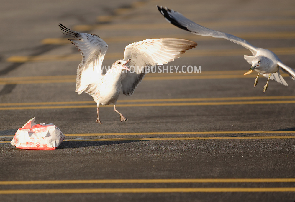 Middletown, N.Y. - A seagull. at left. squawks at another seagul as it flies away with  a French fry from a fast food bag left in a parking lot on Sept. 24, 2006.