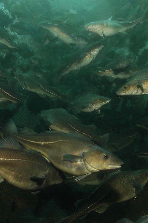 Atlantic Cod (Gadus morhua) in a fish farm. Location: Norway