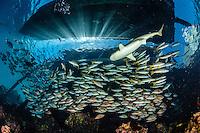 Schooling Lutjan, blacktip shark, Fakarava French Polynesia