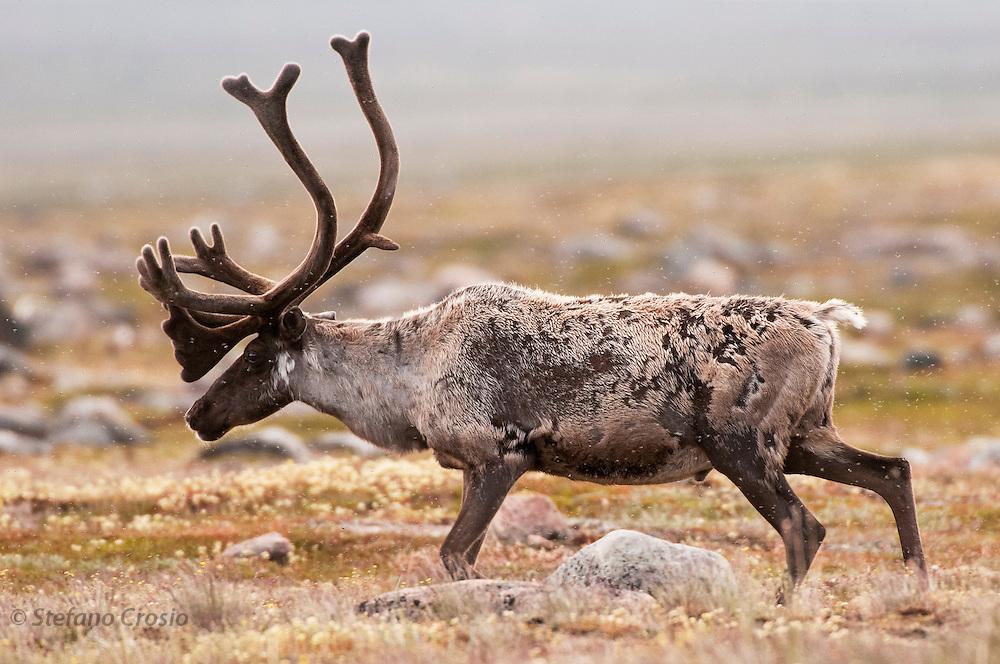 CANADA, Nunavut.Barren-ground caribou (Rangifer tarandus groenlandicus) bull in cloud of mosquitoes