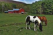 horses grazing in spring,sunderland,vt,with beautiful red barn in the background
