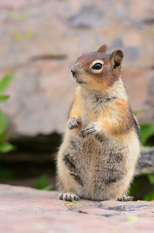 Golden-mantled Ground Squirrel (Spermophilus lateralis), Northern Montana