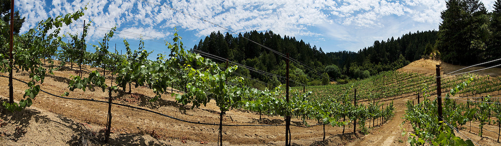 Early summer panorama in Red Car Wine's Bartolomei Vineyard, located near the Russian River in the Sonoma Coast Appellation in Northern California. The cool coastal weather influence here is perfect for growing Pinot Noir wine grapes. The mornings are often cool and foggy while afternoon temperatures are warm but not too hot.