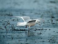 Ross' Gull Rhodostehia rosea