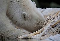 Polar bear (Ursus maritimus) feeding on whale carcass, Svalbard, Norway.