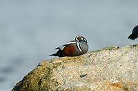 Harlequin Duck (Histrionicus histrionicus) perched on a rock, Oyster Bay nr. Cambell River, Vancouver Island, Canada   Photo: Peter Llewellyn