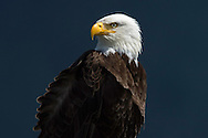 Bald eagle, Haliaeetus leucocephalus, Tofino, Clayoquot Sound, British Columbia, Canada, North America