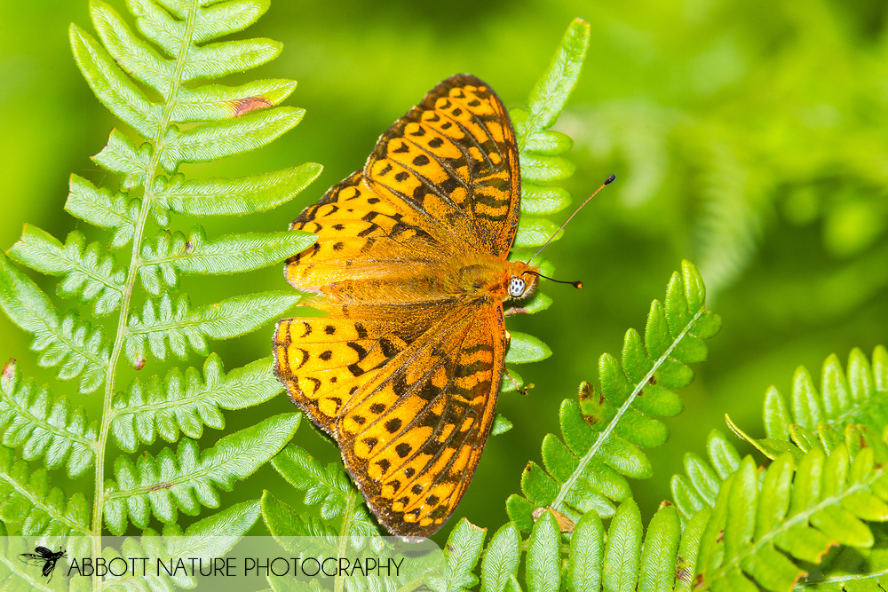 Aphrodite Fritillary (Speyeria aphrodite)<br /> WEST VIRGINIA: Greenbrier Co.<br /> Summit Lake @ Cranberry Wildlife Management Area<br /> 25.June.2015<br /> J.C. Abbott #2753 &amp; K.K. Abbott