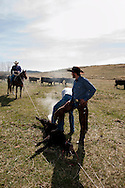 Cowboys, drag calves to the fire, branding, Lazy SR Ranch, Wilsall, Montana, Henry Hamm, Lee Pinkerton