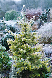 Hoar frost on Abies concolor 'Winter Gold' - White Fir