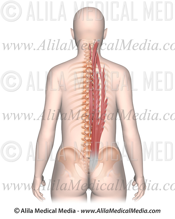 Erector Spinae Muscle Group Unlabeled Alila Medical Images