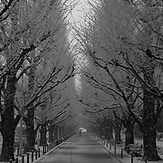 Bicycle tracks and a lone pedestrian under rows of stately trees in Tokyo's Aoyama 1-chome area during a very rare snowfall in Japan's capitol city.