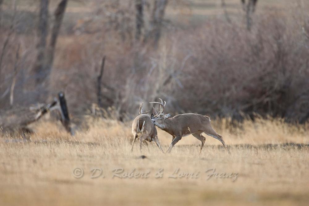 Wyoming whitetail  bucks fighting during the autumn rut