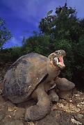 Galapagos Giant Tortoise<br />Geochelone elephantopus<br />Charlse Darwin Research Station, Santa Cruz Island, GALAPAGOS, ECUADOR. South America