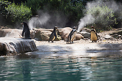 © licensed to London News Pictures. London, UK 08/08/2013. Penguins enjoying the sunshine at London ZSL Zoo on Tuesday, August 08, 2013. Photo credit: Tolga Akmen/LNP