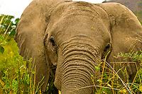 Bull Elephant, Serengeti National Park, Tanzania