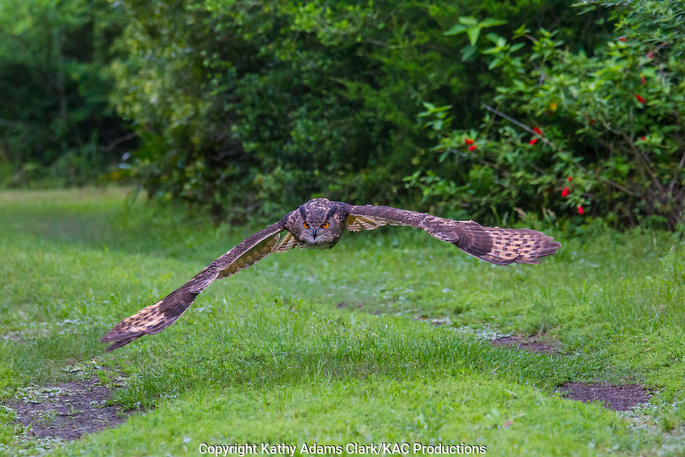 Eurasian eagle-owl, Bubo bubo, flying, in flight, captive,