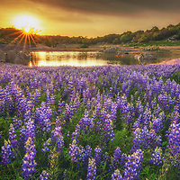 Lupine at sunset along the shore of Folsom Lake, California.