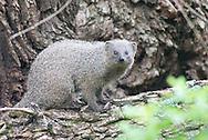 Cape grey mongoose, Klein grysmuishond, Galerella pulverulenta, mangosta gris del Cabo, mangouste grise