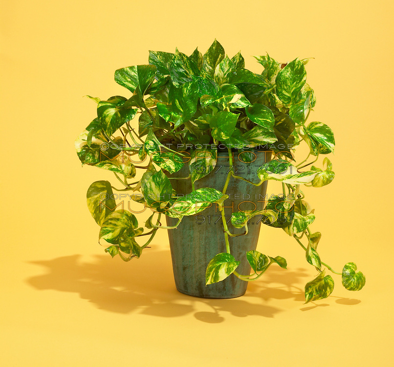 philodendron house plant in green and yellow with yellow plant