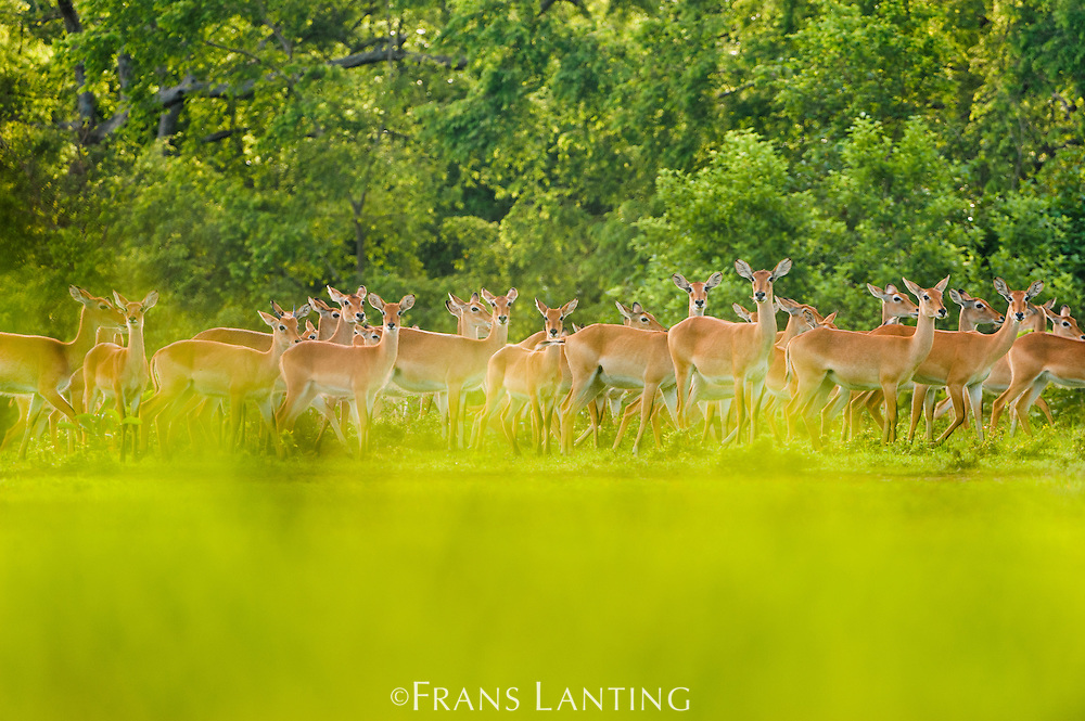 Kob herd in forest clearing, Kobus kob, Mole National Park, Ghana