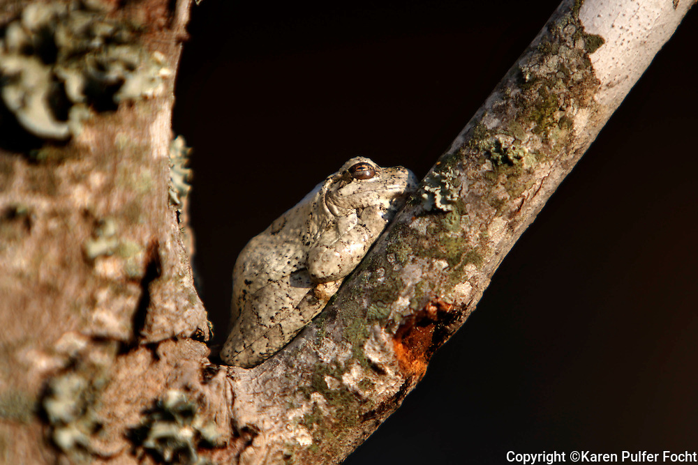 May 6th 2011 - A tree frog rests upon a branch in Dancyville, Tennessee.