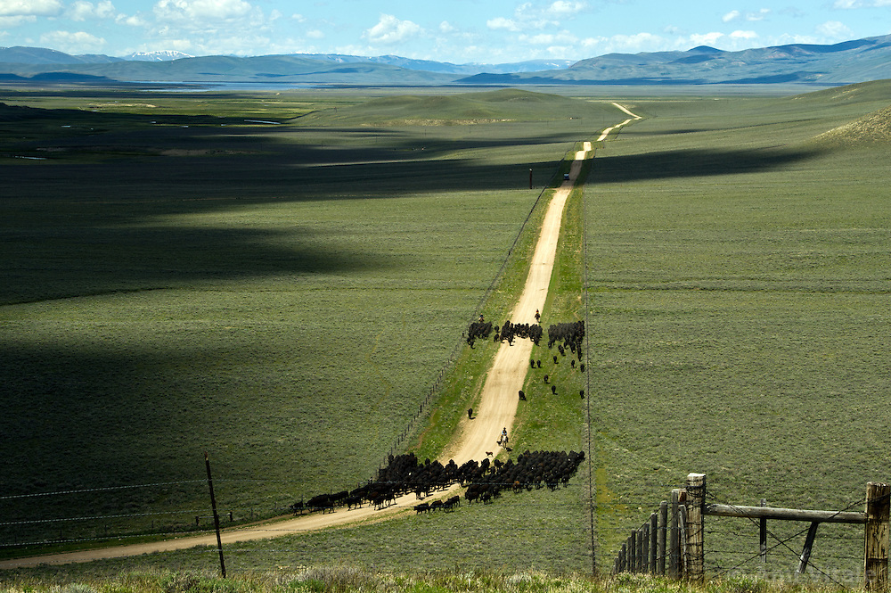 Cows are driven to the Centennial Valley of Southwestern Montana in June 2012.  The age of the open range is gone and the era of large cattle drives  over. Today, very few ranches drive their cattle with horses, instead moving them by truck. Now, spurred by growing consumer concern over meat's environmental impact and concerned about the long-term viability of their livelihood, a cohort of ranchers is trying to apply the understanding gleaned from the science of ecology to livestock management.    The idea is called ?sustainable ranching? and it says to heal the land, put more animals on it, not fewer - but move them after a relatively brief interval. If livestock mimick the grazing behavior of wild herbivores - bunched together for safety, intensely grazing an area for a brief period, and then moving on - rangeland health will improve..